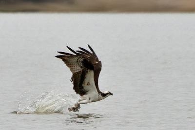 osprey01